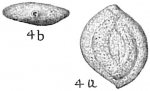 Sigmoilina asperula