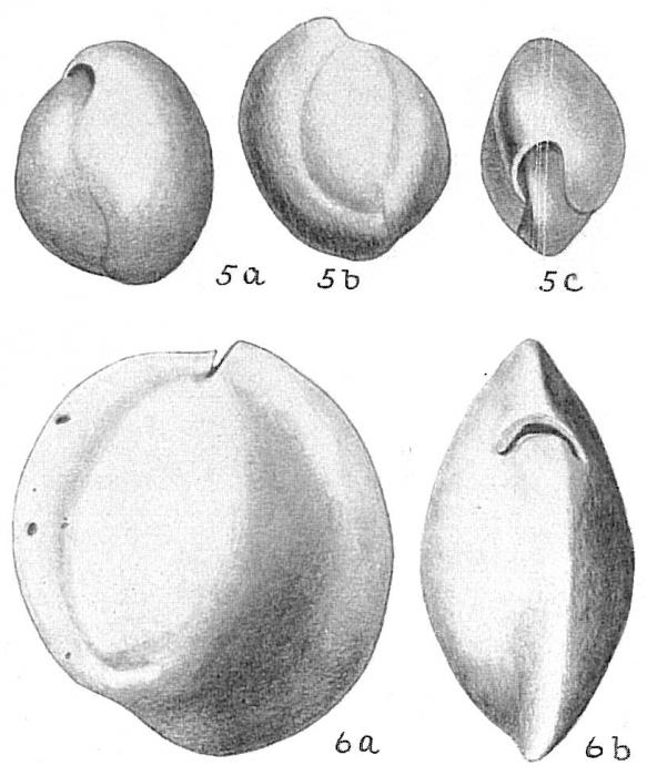 Sigmoilina sigmoidea