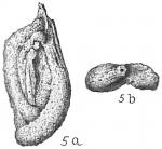 Spiroloculina arenata