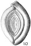 Spiroloculina depressa var. rotundata