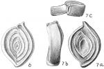 Spiroloculina limbata