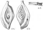 Spiroloculina ornata, author: Cedhagen, Tomas
