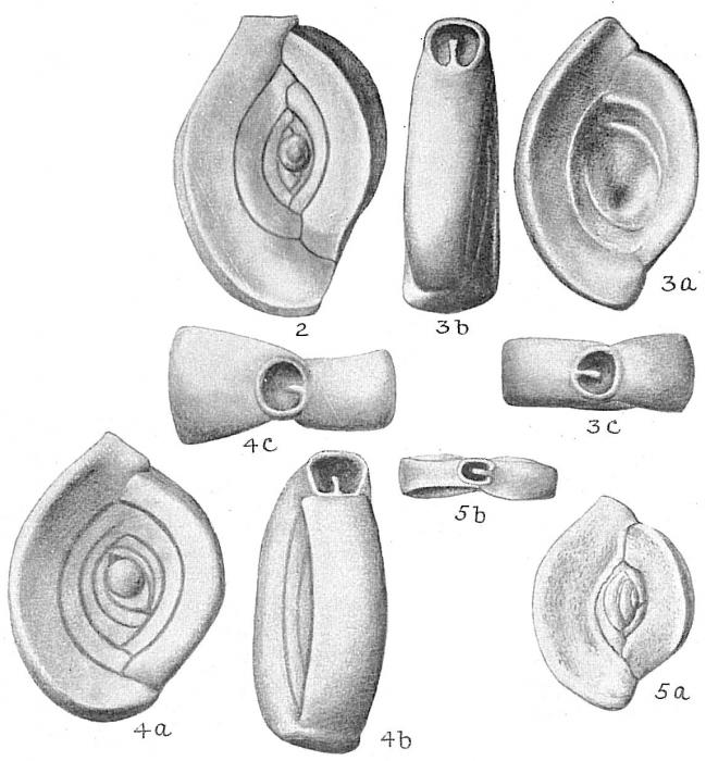 Spiroloculina planulata