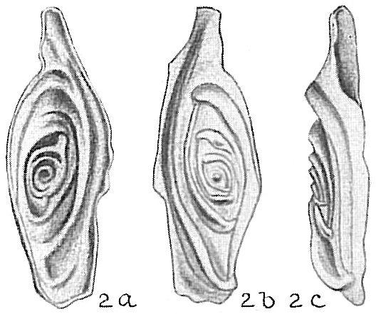 Spirophthalmidium acutimargo var. concava