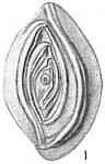 Spiropthalmidium acutimargo