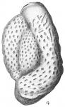 Triloculina carinata