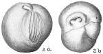 Triloculina insignis
