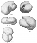 Triloculina labiosa
