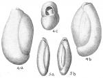 Triloculina oblonga
