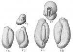 Triloculina planciana