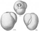 Triloculina rotunda