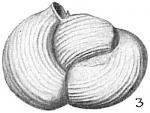 Triloculina suborbicularis