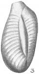 Triloculina transversestriata