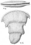 Vertebralina cassis