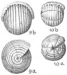 Borelis pulchra