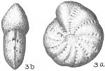Elphidium advenum margaritaceum