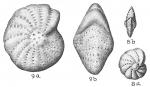 Elphidium discoidale