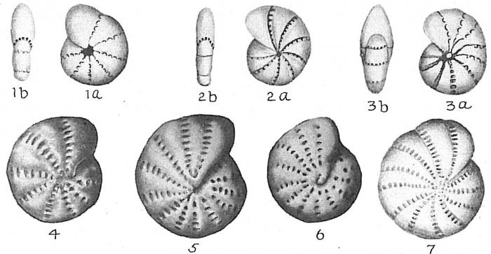 Elphidium excavatum