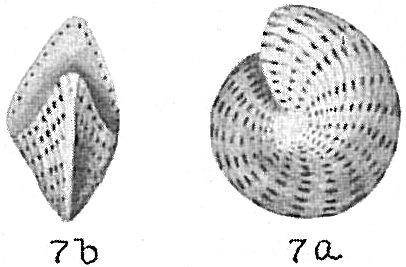 Elphidium lanieri
