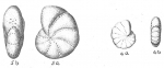 Elphidium poeyanum