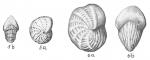 Elphidium sagrum
