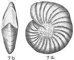 Elphidium sibiricum