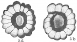 Nonion crassulum