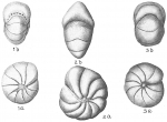 Nonion orbiculare