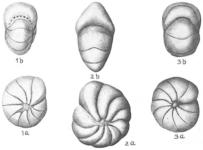 Nonion orbiculare