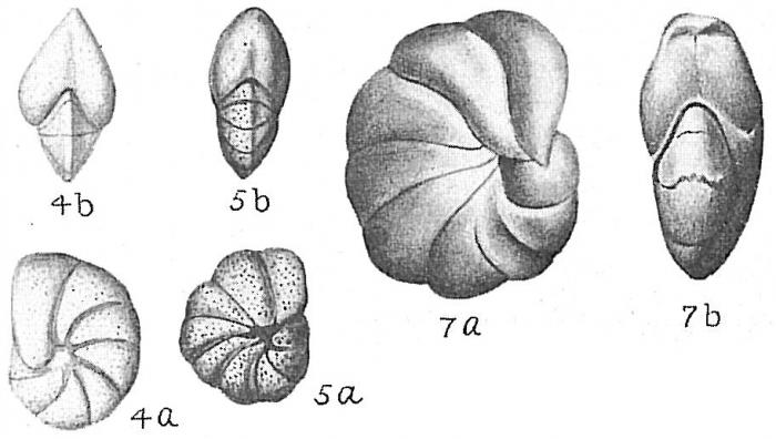 Nonion pauperatum