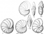 Peneroplis carinatus