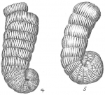 Spirolina arietinus