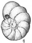 Anomalina edwardsiana