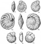 Cibicides floridana