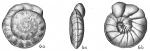 Cibicides robertsoniana