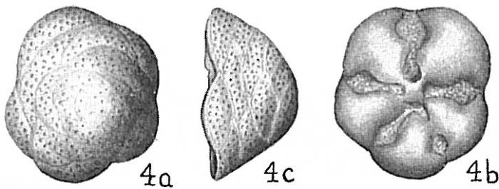 Cymbaloporetta squammosa