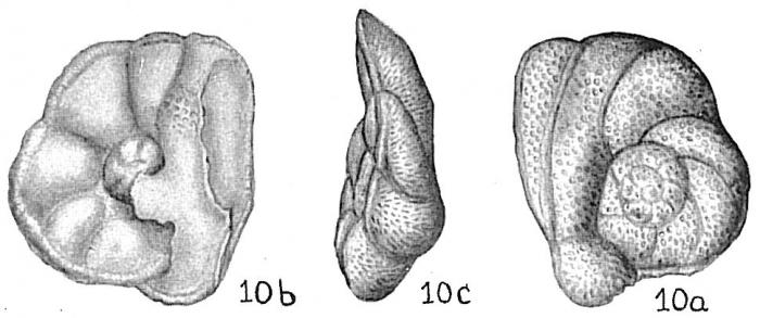 Discorbis globularis anglica