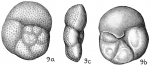 Discorbis globularis