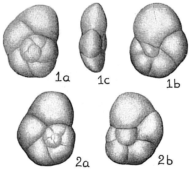 Eponides exigua