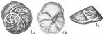Eponides repanda concamerata