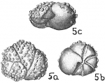 Eponides tuberculata