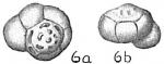 Eponides tumidula