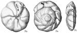 Eponides umbonata ehrenbergii