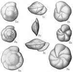 Eponides umbonata