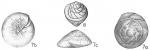 Eponides wrightii, author: Cedhagen, Tomas