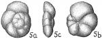 Globorotalia scitula