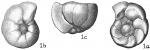 Gyroidina soldanii f. altiformis