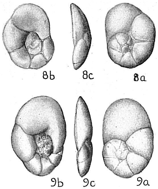 Lamarckina haliotidea