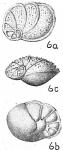 Lamarckina scabra