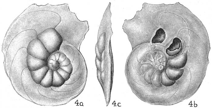 Laticarinina pauperata